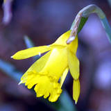 Daffodil_bloom_yellow_med